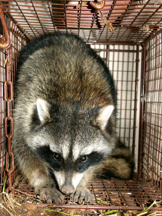 Animal Trapping and Removal